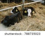 Young Calves In A Bio Farm....