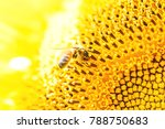 sunflower close up and bee with ... | Shutterstock . vector #788750683