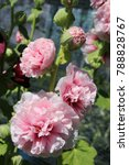 Small photo of Blooming cultivar common hollyhock (Alcea rosea 'Peaches 'n Dreams') in the summer garden