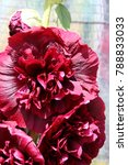 Small photo of Blooming cultivar double-flowered common hollyhock (Alcea rosea) in the summer garden