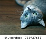 grey cat with green eyes lying... | Shutterstock . vector #788927653