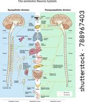 the anotomic neuros system....   Shutterstock .eps vector #788967403
