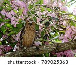 Small photo of Buffy fish owl (Ketupa ketupu) perches among the blooms of Tecoma flowers.