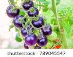 fresh purple heirloom tomatoes... | Shutterstock . vector #789045547