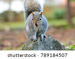 Grey Squirrel Sitting On A...