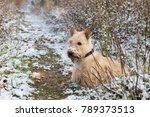 red haired scottish terrier dog ... | Shutterstock . vector #789373513