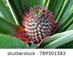 Small photo of Urn Plant,Pineapple is a species of ornamental plant with hard petals.Spread out around the leaves, patterns and colors are beautiful, but the species.The tree is growing slowly,easy to maintain good.