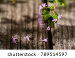 fresh oregano flowers  leaves... | Shutterstock . vector #789514597