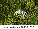 swamp lily  crinum lily ...   Shutterstock . vector #789521653