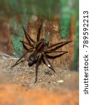 Small photo of Spider close up. Black curly-hair spider tarantula Brachypelma albopilosum of the family of Theraphosidae spiders over natural wood background. Large spider with babies.