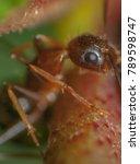 macro closeup on weaver ant... | Shutterstock . vector #789598747