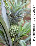 fresh pineapple fruit on a tree | Shutterstock . vector #789618967