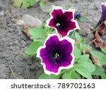 Colourful Petunia. Flowerbed...