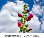 Small photo of Hollyhock (Alcea) rosea). Pink with straight stems, beautiful flowers in the garden.