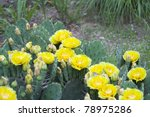 Bunch Of Prickly Pear Cactus I...