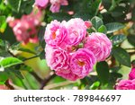 pink rose and leaf on tree. | Shutterstock . vector #789846697