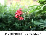Small photo of Spicy jatropa or peregrina.A beautiful red flower in the morning.