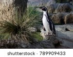 small penguin standing on a rock | Shutterstock . vector #789909433