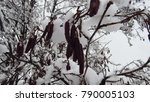 snow on black alder trees  | Shutterstock . vector #790005103
