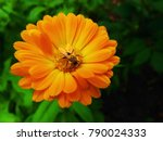 flower with leaves calendula ... | Shutterstock . vector #790024333