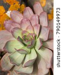 Small photo of Succulent aeonium plant on stone wall, typical flower of the Canary Islands.