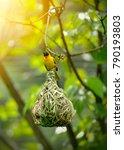 weaver bird  weaver finches ... | Shutterstock . vector #790193803