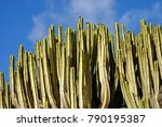 typical cactus on the canary... | Shutterstock . vector #790195387