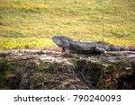 green iguana  scientifically... | Shutterstock . vector #790240093