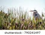 great blue heron bird  ardea...   Shutterstock . vector #790241497
