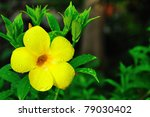Allamanda Yellow Flower