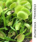 green carnivorous plant with... | Shutterstock . vector #790443013