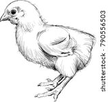 chick realistic drawing | Shutterstock .eps vector #790556503