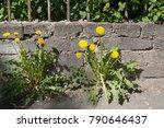 Yellow Dandelions Growing...