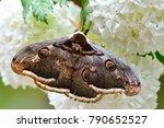 the giant peacock moth ... | Shutterstock . vector #790652527