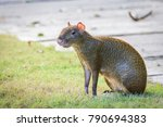 Small photo of Agouti agoutis or Sereque rodent sitting on the grass. Rodents of the Caribbean. Copy space