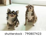 Two Chihuahua Dogs Are Sitting...
