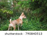 Small photo of Young fawn-colored chihuahua pointing while exploring outside in green grass.