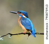 kingfisher  alcedo atthis  in... | Shutterstock . vector #790875913