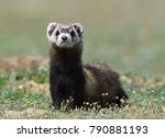 the steppe polecat or masked... | Shutterstock . vector #790881193