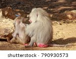 male baboon looking for insects ... | Shutterstock . vector #790930573