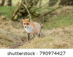 fox in the dutch dunes in winter | Shutterstock . vector #790974427