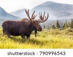 Wild Moose Grazing The...
