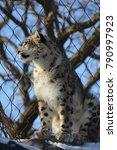 a snow leopard | Shutterstock . vector #790997923