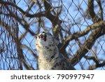 a snow leopard | Shutterstock . vector #790997947