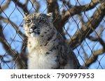 a snow leopard | Shutterstock . vector #790997953