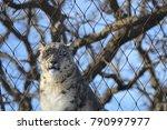 a snow leopard | Shutterstock . vector #790997977