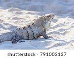 iguana in the wild. riviera... | Shutterstock . vector #791003137