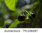 Solanum Nigrum L.black...