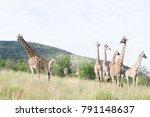 south african giraffe  giraffa  ... | Shutterstock . vector #791148637