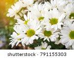 chrysanthemum morifolium ... | Shutterstock . vector #791155303